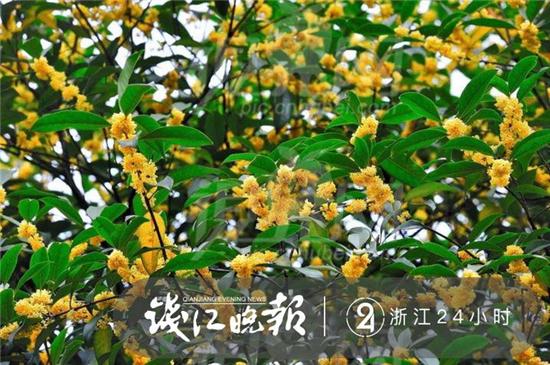 杭州纯天然植物��a_怒放的杭州黄(杭州植物园 供图)