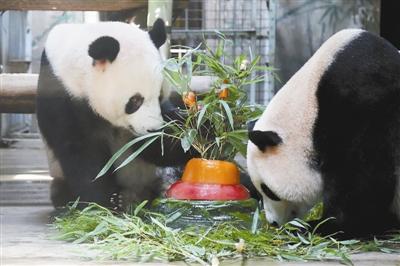 """本报讯 7月,是杭州动物园大熊猫""""成就""""与""""双好""""的生辰月."""