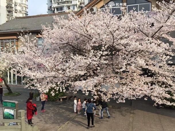 樱花树,樱花王,信义坊,郭哲明,春天