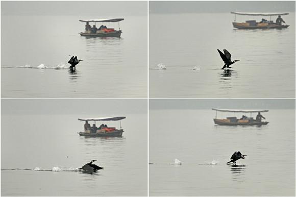 鸬鹚,西湖鸬鹚,普通鸬鹚,鸟类保护,越冬候鸟