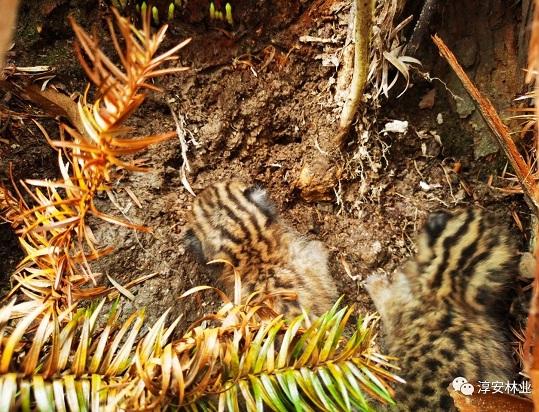 豹猫,老虎,森林,动物,野生动物